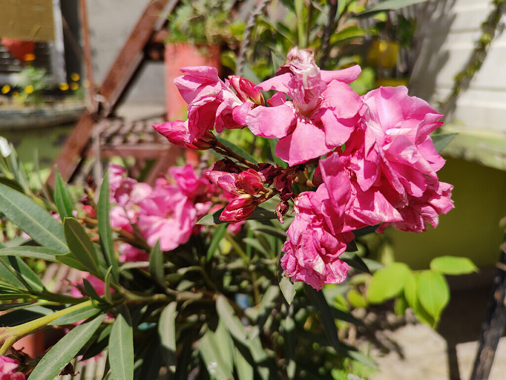 Pink flowers clicked with Realme 8 Pro 108MP camera
